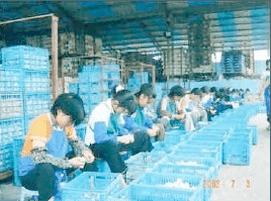 中国産にんにく作業風景